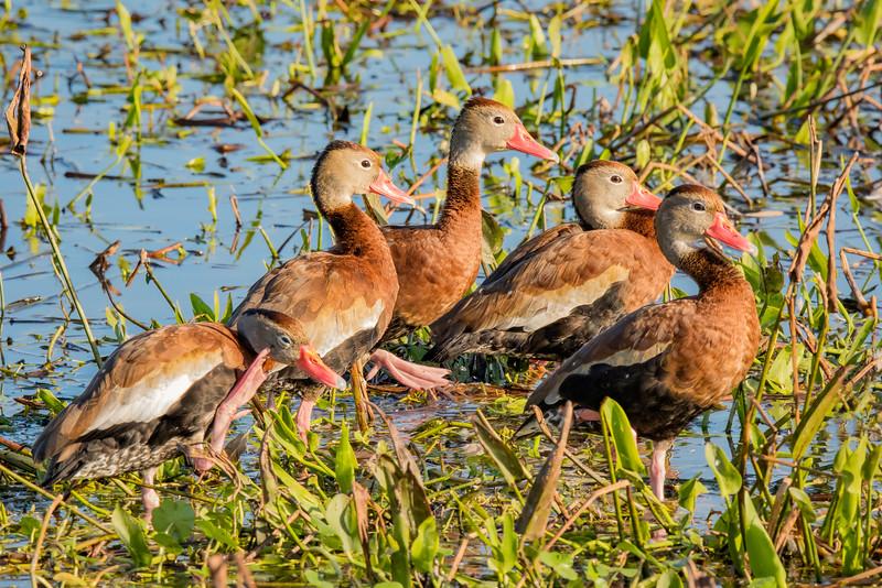 Raft of Black-Bellied Whistling Ducks