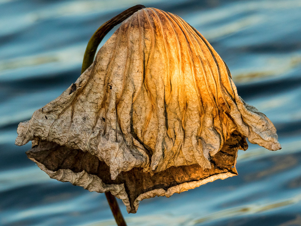 Dried American Lotus Leaf 3