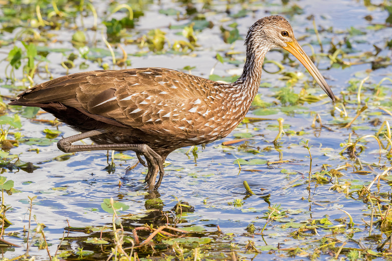 Limpkin on the Hunt