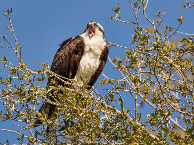 Osprey Calling