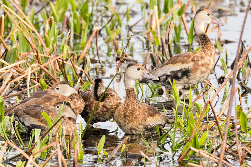 Group of Femail Black-bellied Whistling Ducks