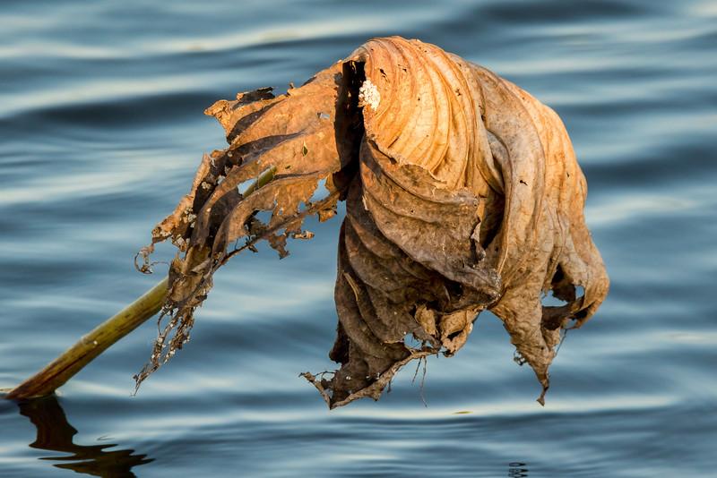 Dried American Lotus Leaf
