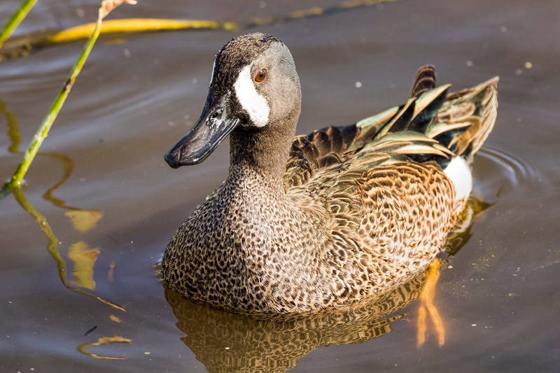 Blue-winged Teal 2