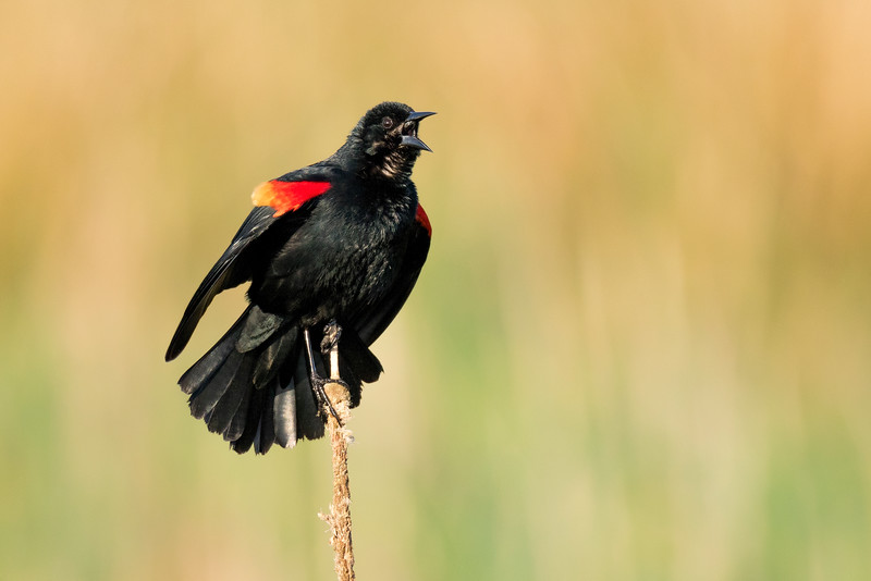 Red-winged Black Bird Calling