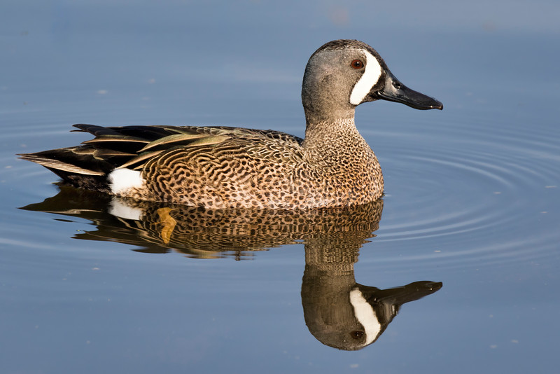 Blue-winged Teal and Reflection