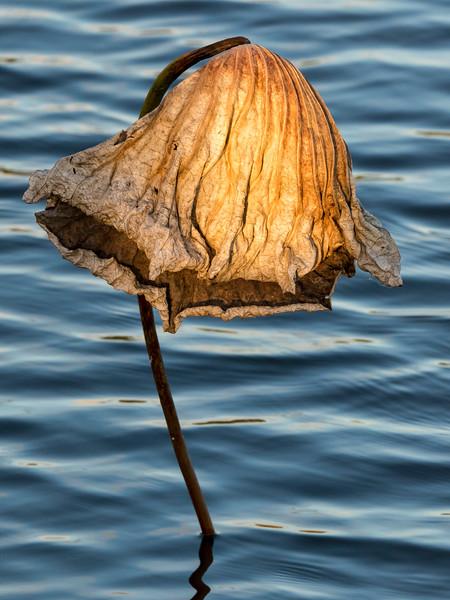 Dried American Lotus Leaf 2
