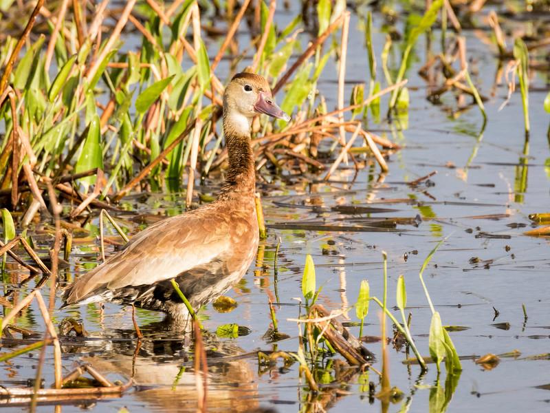Female Black-bellied Whistling Duck