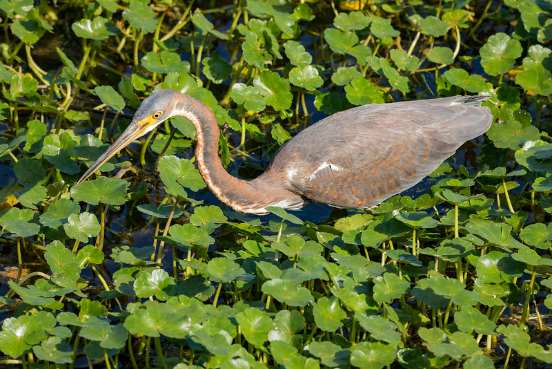 Tricolored Heron (Adult)
