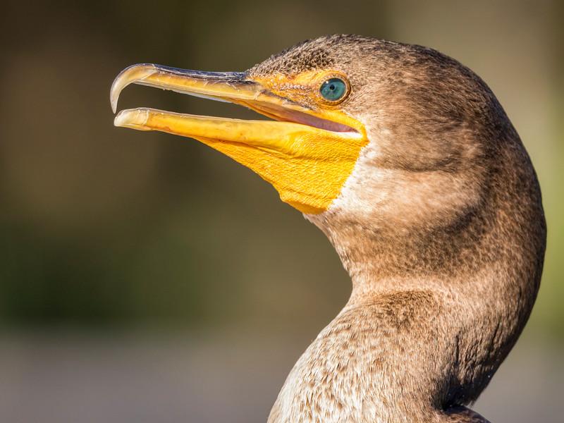 Double-crested Cormorant, Juvinile