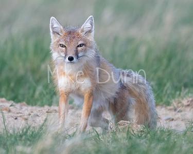 Swift Fox-58