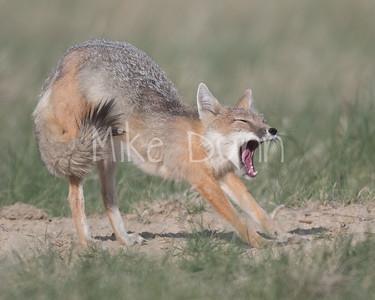 Swift Fox-59