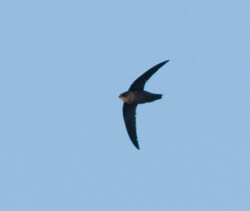 Vaux Swift  San Luis Rey River   Oceanside 2013 10 10.CR2