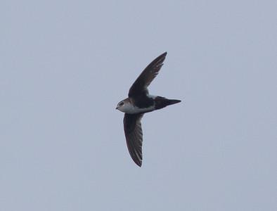 White-Throated Swift, San Luis Rey River Oceanside  2011 05 16-4.CR2