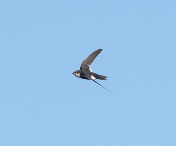 White-throated Swift Carlsbad 2021 02 06-3.CR3