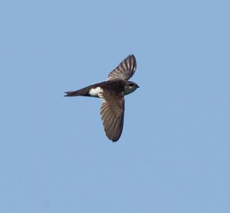 White-throated Swift  San Luis Rey Oceanside 2012 05 27 (3 of 3).CR2