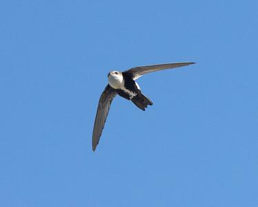 White-throated Swift Carlsbad 2021 02 06-4.CR3
