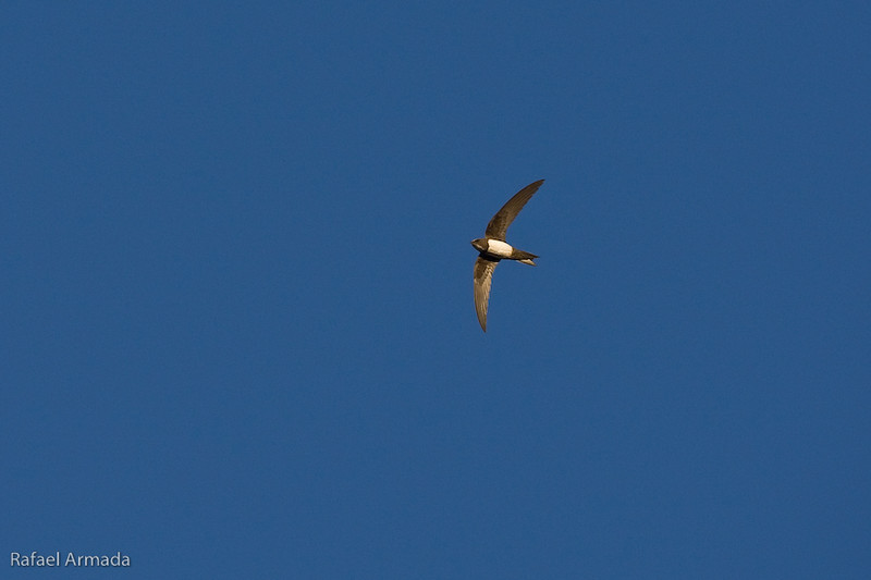 Alpine Swift (Apus melba).<br /> La Palma de Cervelló (Barcelona, Catalonia, Spain), June 2008.<br /> Esp: Vencejo real<br /> Cat: Ballester