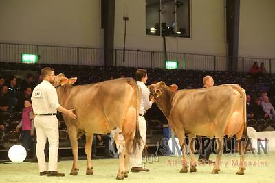 Swiss Expo Brown Swiss Cows 16