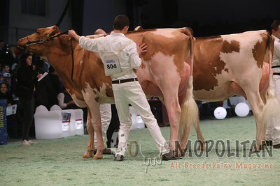 Swiss Expo Red Holstein IntCow