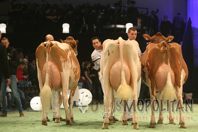 Swiss Expo Red Holstein SrCows