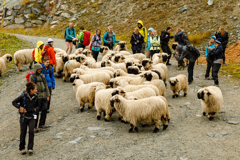 Walking through some sheep on the way to Liesee below Sunnegga