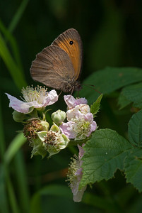 Meadow Brown near Soglio