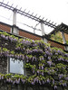 Wisteria on my walk to work