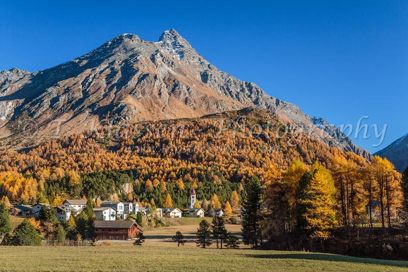 Fall foliage color in the larch trees in Maloja, Bregaglia Valley, Canton of Graubunden, Engadine, Switzerland, Europe.