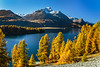 Fall foliage color in the larch trees in the Engadine Valley, Graubuden, Switzerland, Europe.