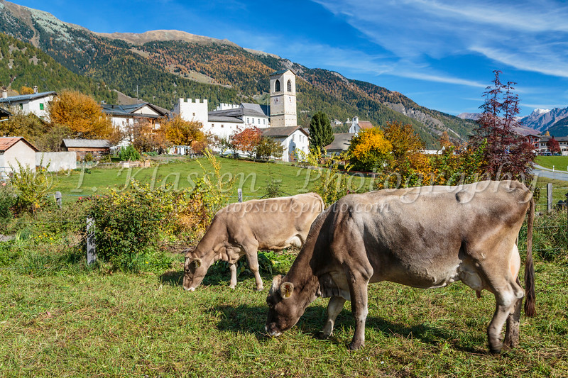 Cos grazing near Müstair, a village in the Val Müstair municipality in the district of Inn in the Swiss canton of Graubünden,Switzerland, Europe.