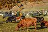 Cattle grazing in a pasture near the village of Celerina, Graubunden, Switzerland, Europe.