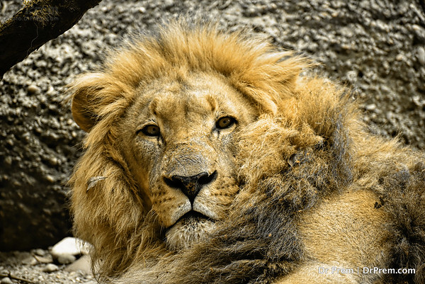 The Lion King At Basel Zoo-- Swiss Majesty