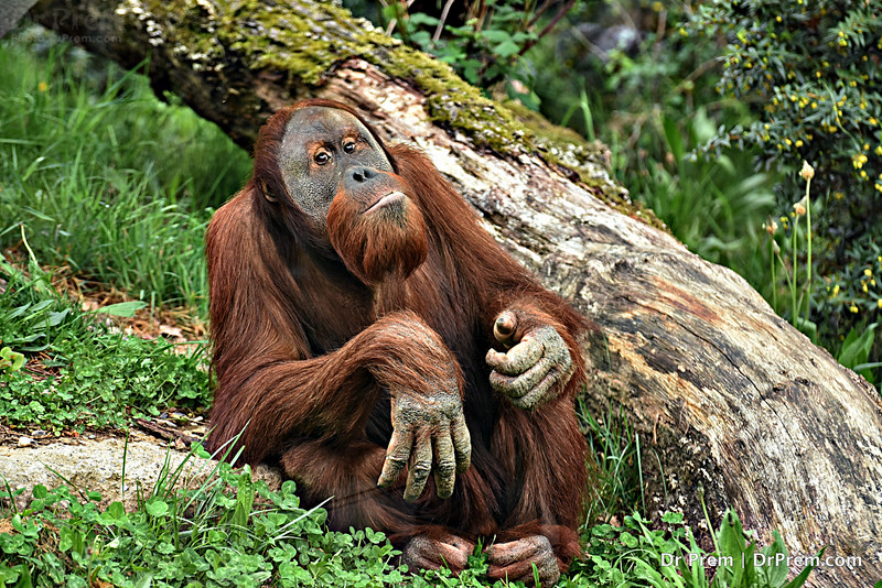 The Thoughtful Orangutan In Switzerland