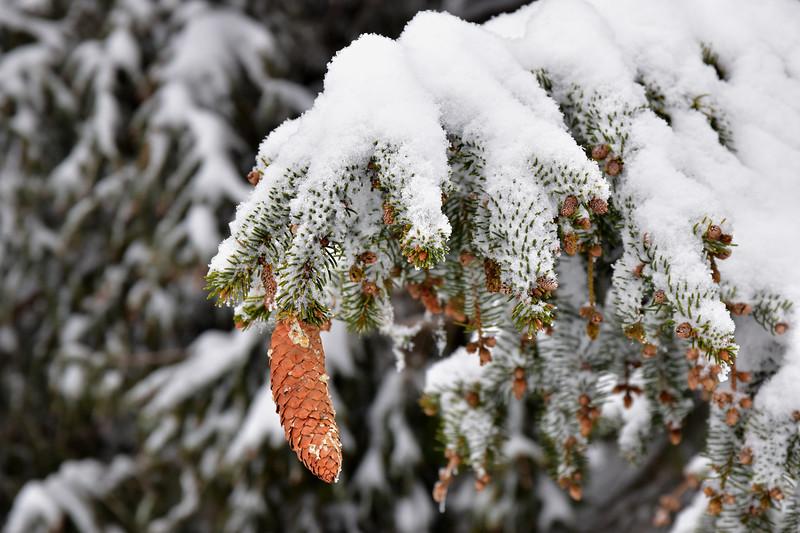 Snowclad fir / Sapin enneigé