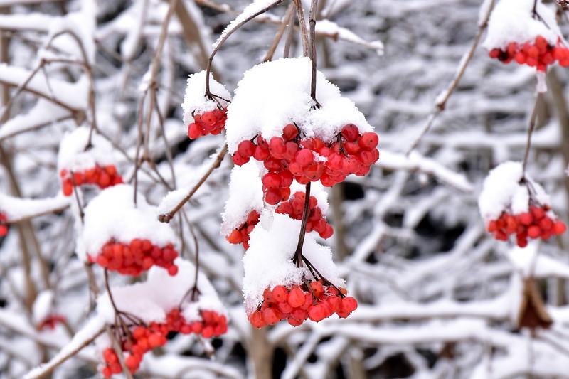 Sorbier sous la neige