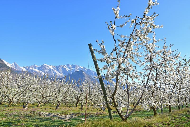 Spring blossoms, Valais / Floraison printanière, Valais