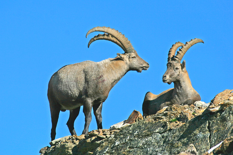 Steinbock in the Swiss Alps / Bouquetin des Alpes suisses