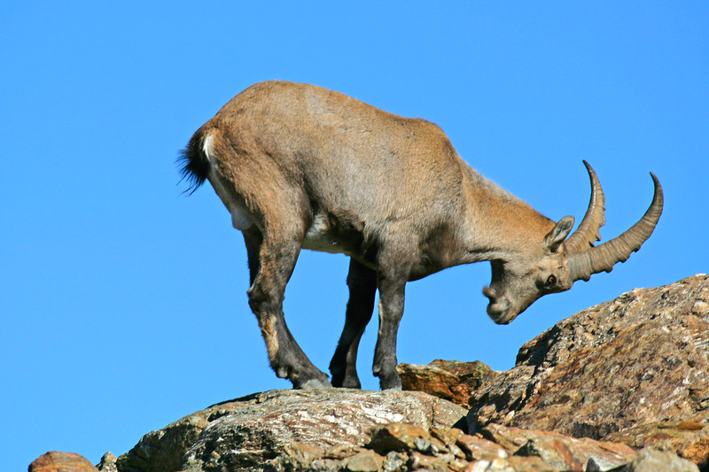 Steinbock in the Swiss Alps/ Bouquetins des Alpes suisses