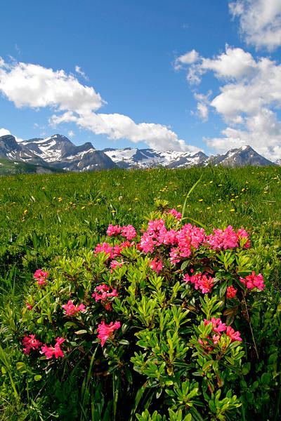Mountain flora, Lauenental / Fleurs de montagne, Lauenental