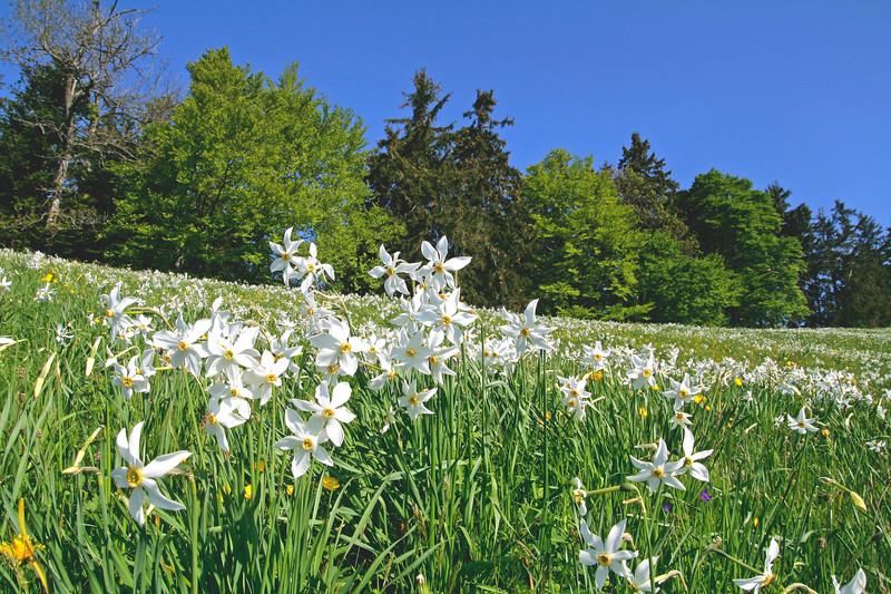 Narcisses, Les Pléiades