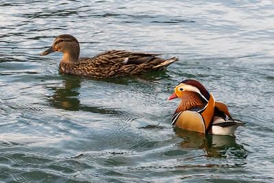 Ducks in the river Aare, Aarburg Switzerland.