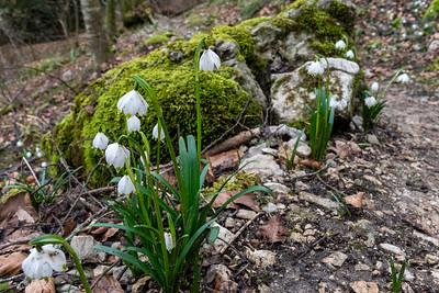Early blooms along the hillside opposite Aarburg.