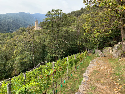 The trails on Monte Carasso pass some vineyards;  near Bellinzona, Switzerland.