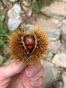 Chestnuts litter the forest floor in Monte Carasso,  near Bellinzona, Switzerland.