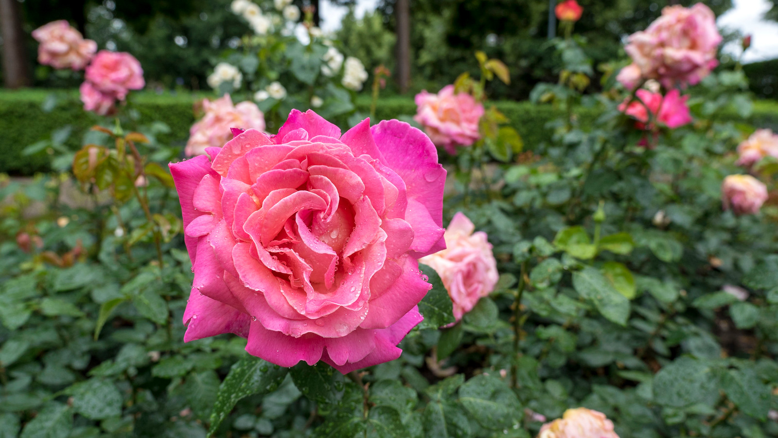 5 Spectacular Things to Do in Bern Switzerland - The Rose Garden - Rosengarten