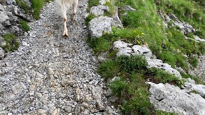 Goats run down the trail and down the hill from Schäfler.