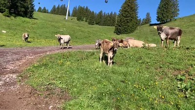 Cows grazing on the slopes of Flumserberg.