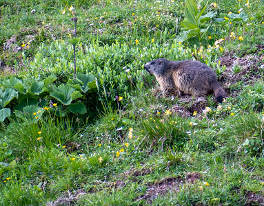 A marmot grazing high on the slopes of Flumserberg.