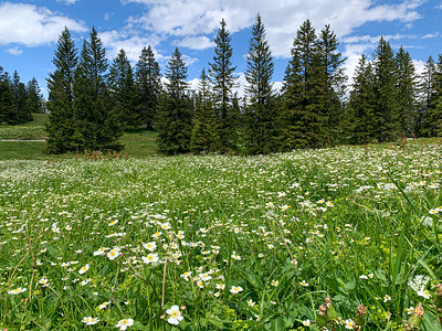 Wildflowers on Flumserberg.