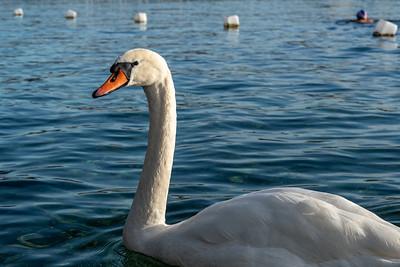 One of many swans of Lake Geneva.